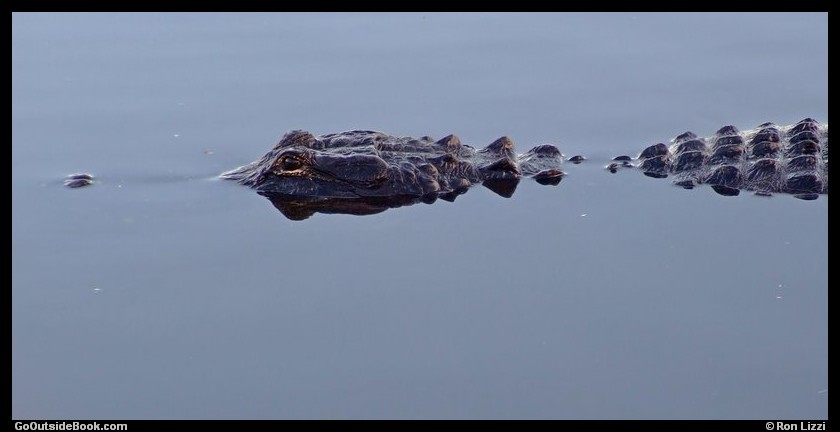 Alligator - Everglades National Park, Florida