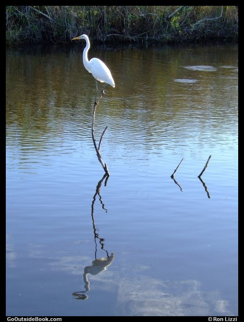 Great Egret - Everglades National Park, Florida