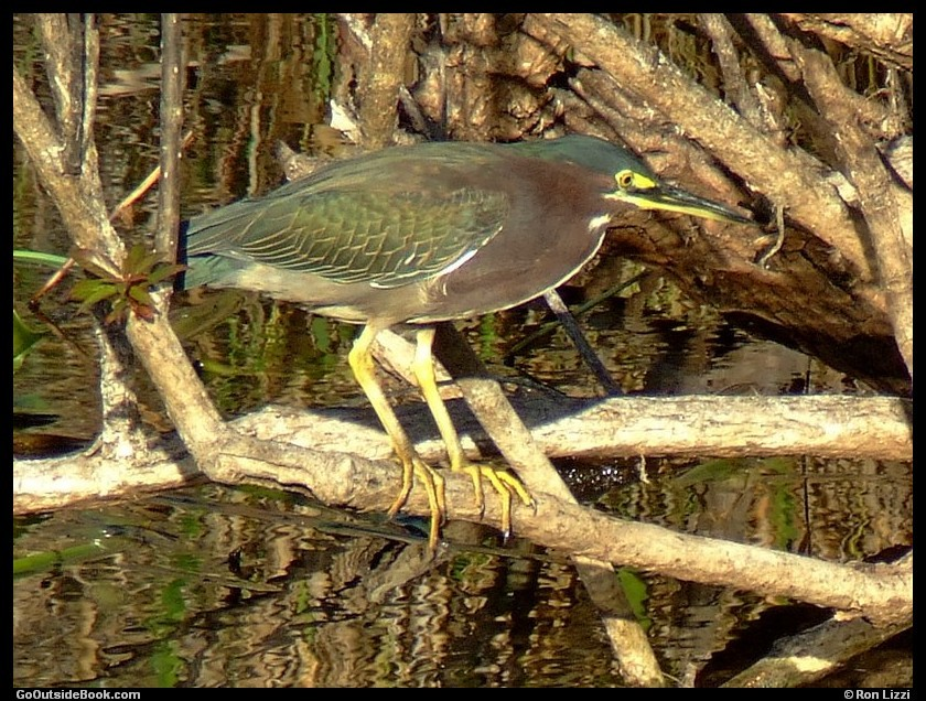 Green heron - Everglades National Park, Florida