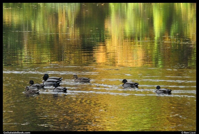 8 ducks at Kettletown State Park, Connecticut