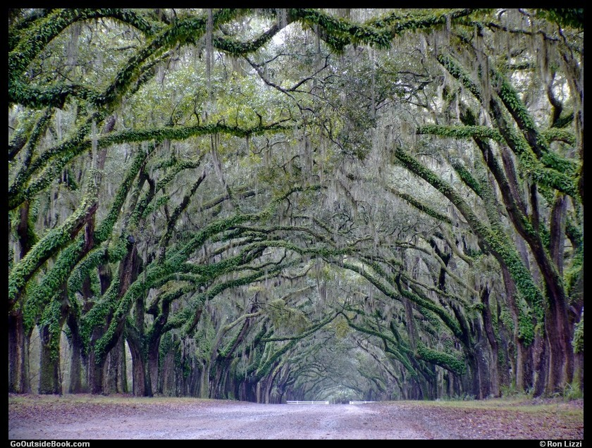 Wormsloe Live Oaks